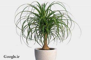لیندا از گیاهان آپارتمانی پرطرفدار
